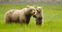Canadian man attacked by grizzly bear sow protecting cubs