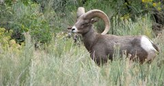 IDFG lethally removes last four bighorn sheep in the South Hills