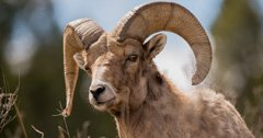 Record amount raised for Idaho bighorn sheep