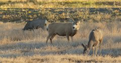 Idaho to release draft management plans for mule deer and whitetail deer