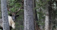 The downfall of the rare south Selkirk Mountain caribou