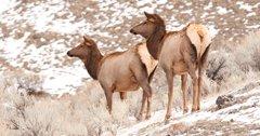 Montana seeks input on proposed changes to deer and elk regulations