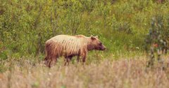 Montana man pleads guilty to illegal transport of grizzly claws