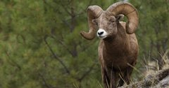 Montana proposes Whiskey Ridge easement purchase to help bighorn sheep