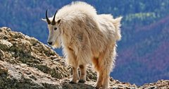 Grand Teton mountain goat cull back on