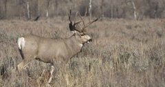 Mandatory disease check for Colorado bucks