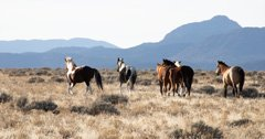 BLM begins emergency wild horse gather