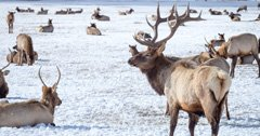 Game & Parks Commission gives Nebraska rancher permission to kill 50 elk