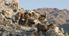 Bighorn sheep return to the Lake Range in Nevada