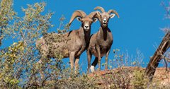 Volunteering for the Fraternity of the Desert Bighorn