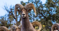 Pneumonia threatens Oregon's Lookout Mountain bighorn sheep