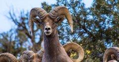 Pneumonia threatens Oregon's Lookout Mountain bighorn sheep