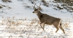 Oregon man arrested after riding mule deer