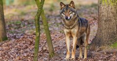 Is Oregon divided over gray wolves?