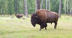Bison get more room to roam in South Dakota