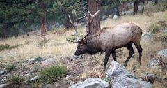 South Dakota seeks public input on elk management plan