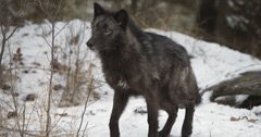"Montana confirms ""mysterious canine"" is actually a wolf"