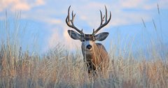 New mule deer plan approved in Utah