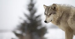 Washington governor wants fewer wolves killed