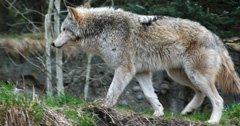 Washington will not shoot problem wolves