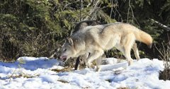 Increased depredation by Washington wolf packs