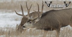 What Muley Fanatic Foundation does for mule deer
