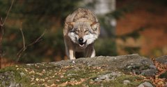 Will Idaho allow hunters to bait wolves?