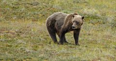 Groups file intent to sue over governmental plans to kill 72 Yellowstone-area grizzlies