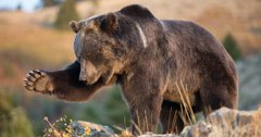 Wyoming's wildlife commission unanimously approves grizzly hunt