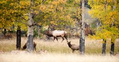 New UC Berkeley study shows the adaptability of elk