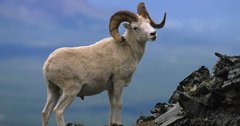 Bacteria confirmed in Alaska's Dall sheep and mountain goat populations