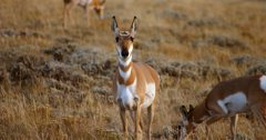 Wyoming proposes antelope hunting changes