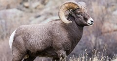 North Dakota bighorn sheep beginning to rebound