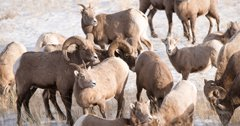 26 bighorn sheep relocated to Montana's Tendoy Mountains
