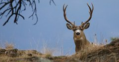 Black mule deer found dead in Moab due to CWD