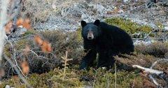 Canadian woman killed by black bear in Alberta