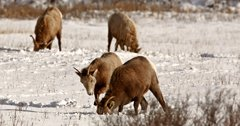 CPW relocates bighorn sheep