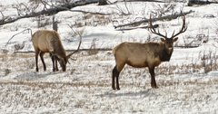 Colorado elk herds stable following Cameron Peak wildfire