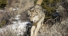 Could there be a wolf reintroduction initiative on the Colorado ballot?
