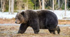 Officials consider grizzly bear management strategy in a COVID-19 world