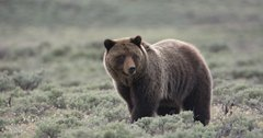 New bill aimed at preventing grizzly bears future protections