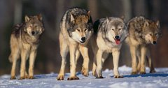 Wolves lose federal protections