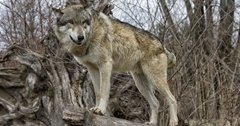 Lawsuit filed to restore federal protections to gray wolves