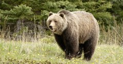 42 Wyoming grizzlies killed in 2021