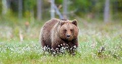 Idaho studies grizzly bears in Island Park