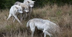 Idaho wolves killed to help struggling elk herd