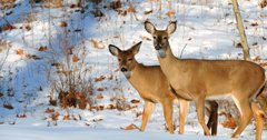 Kansas man convicted of poaching 60 deer