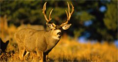 South Dakota wants more mule deer