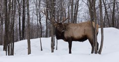 Over 49,000 hunters apply for Michigan elk