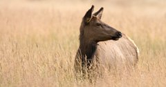 Missouri woman arrested for poaching cow elk